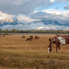 Horse and Tetons _MG_4496