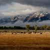 Horses and Tetons 4493