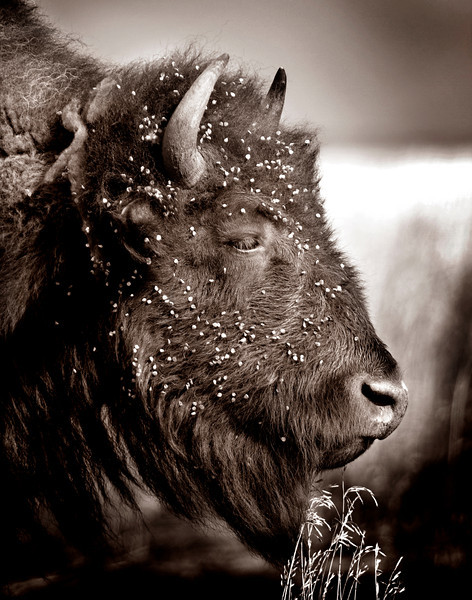 Bison_MG_4567 sepia (11x14)