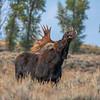 Moose 4823