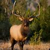 Elk MG_5033