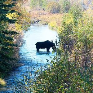 River Moose