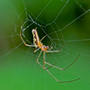 Tetragnathidae extensa, (Female)