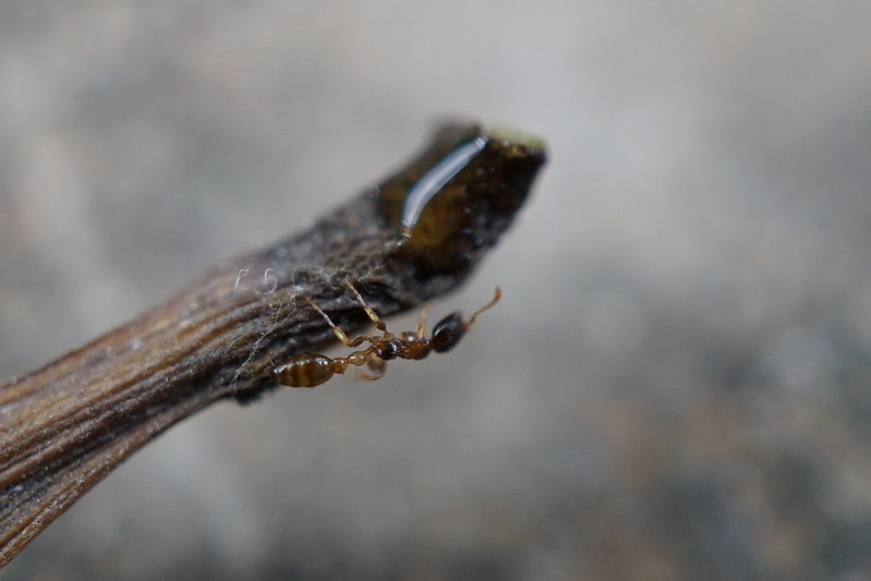 Tetraponera microcarpa