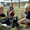 Katie Smith | The Effingham Daily News <br /> Bennet Thompson, James Niebrugge, and Devin Kreke pet Kreke's calf at a petting zoo set up at the Teutopolis 175 Anniversary Celebration Friday, August 1 east of Teutopolis Grade School.