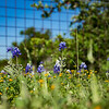 Bluebonnets Along Fence