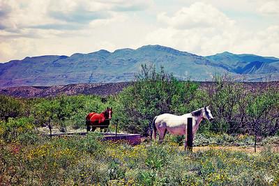 Big Bend Horses