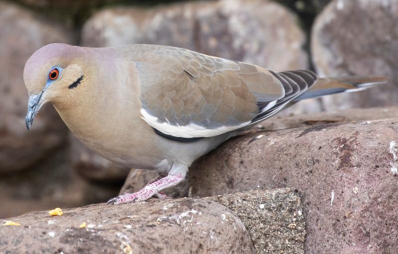 White-winged Dove, Zeniada asistica