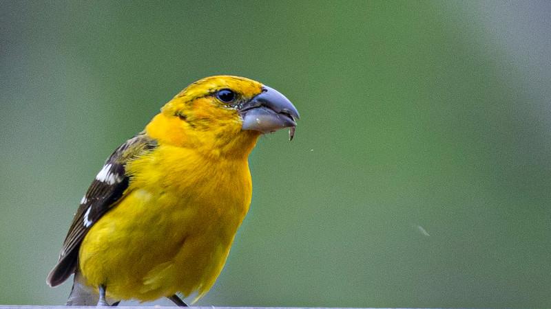 Yellow Grosbeak. Pheucticus chrysopeplus