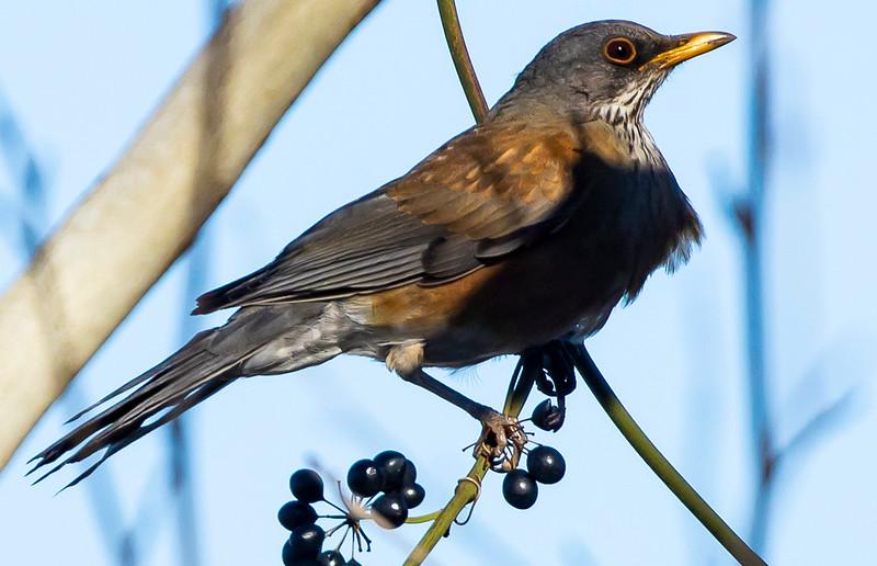 Rufous-backed Robin, Turdus rufopalliatus