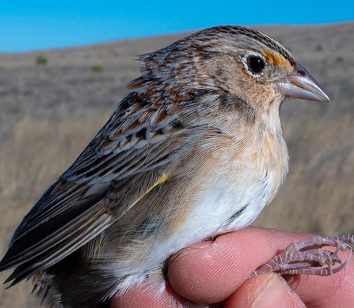 Grasshopper Sparrow, Ammodramus savannarum