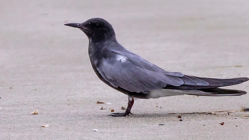 Black Tern, Chlidonias niger