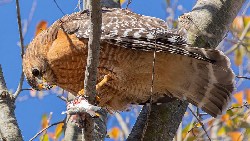 Red-shouldered Hawk, Buteo lieatus