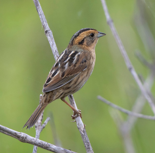 Nelson's Sparrow, Ammospiza nelsoni