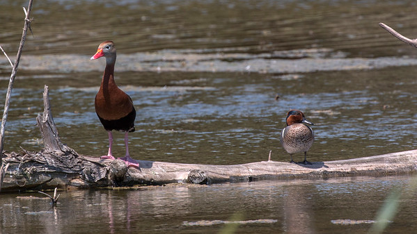 Black-bellied Whistling-Duck and Green-winged Teal