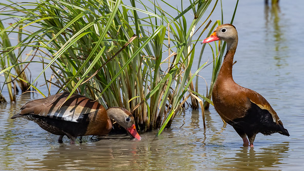Black-bellied Whistling-Ducks @ Estero Llano Grande State Park