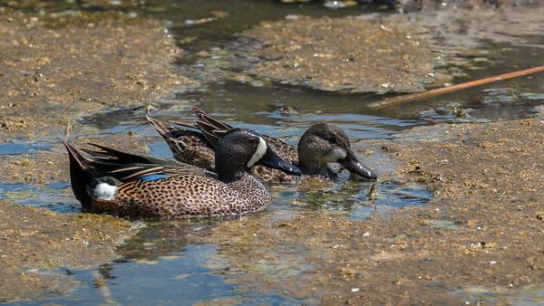 Blue-winged Teal pair
