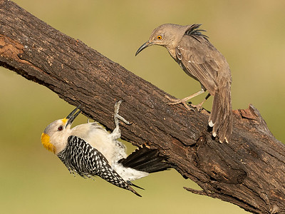 Golden-fronted Woodpecker (Female) and Curve-billed Thrasher