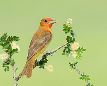 Summer Tanager (Juvenile)