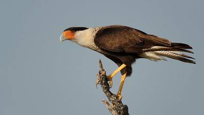 Crested Caracara (Adult)