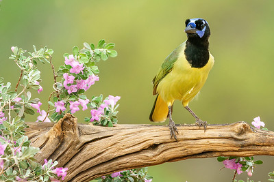 Green Jay and Purple Sage in Texas