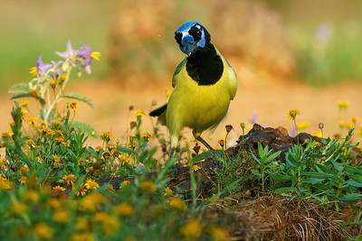 Green  Jay and Texas wildflwoers