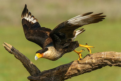 Crested Caracara launching