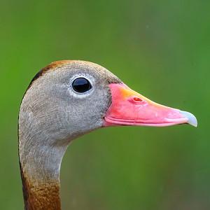 Black-bellied Whistling Duck or Tree Duck Portrait