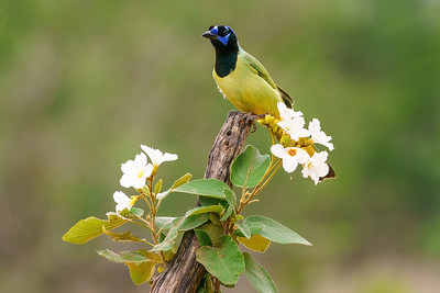Green Jay perched in Mexican Wild Olive