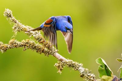 Male Blue Grosbeak taking flight.