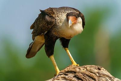 Closeup - Crested Caracara