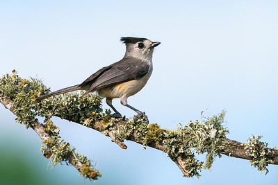 Black-crested Titmouse on a lichen coveed branch