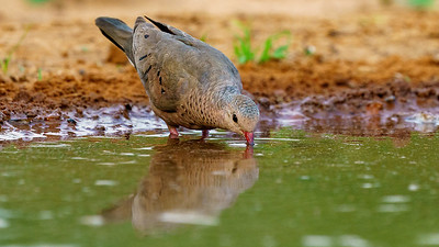 At the waterhole - Common Ground Dove