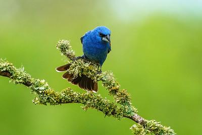 Lichen covered perch - Male Blue Grosbeak