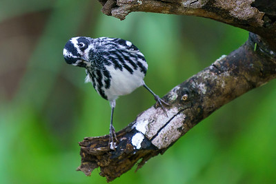 What? Black-and-white- Warbler stare down in Texas