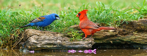 Northern Cardinal and Blue Grosbeak having a meeting.