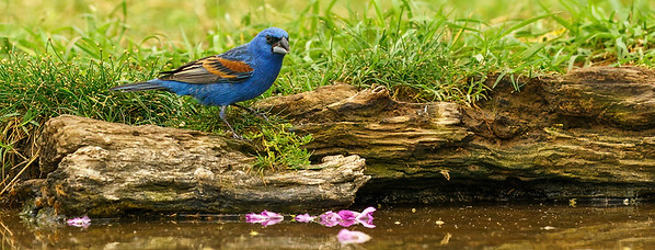 By the water - Blue Grosbeak