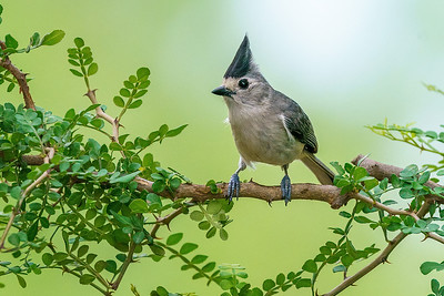 Black-crested Titmouse in Texas