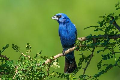 Tribal Tatoo?  Blue Grosbeak (Male) in a shadow