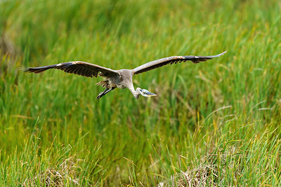 Great Blue Heron flying over the marsh.