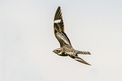 Common Nighthawk in Flight - Texas