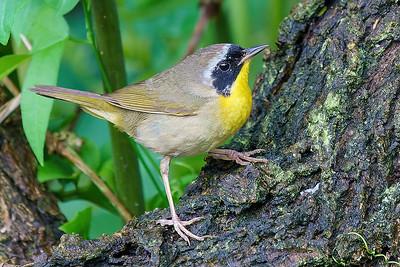 Common Yellowthroat browsing iin Texas