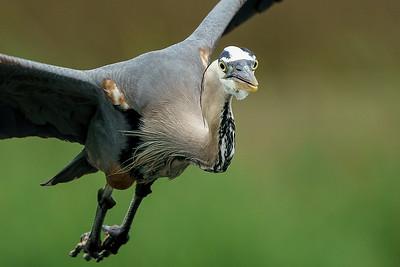 Incoming - Great Blue Heron in Flight