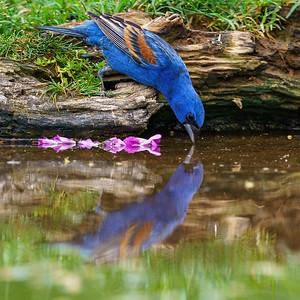 Reflection - Blue Grosbeak
