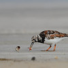 Ruddy Turnstone, Bolivar Peninsula, Texas