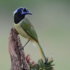 Green Jay, Laguna Seca Ranch, Texas