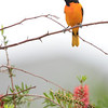Male Baltimore Oriole, Galveston Island, Texas