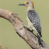 Golden-fronted Woodpecker, Laguna Seca Ranch, Texas