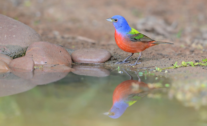 Painted Bunting, Laguna Seca Ranch, Texas