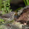 Northern Waterthrush, Galveston Island, Texas